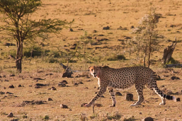 3 days masai mara safari Tour by road from nairobi to the home of the big five